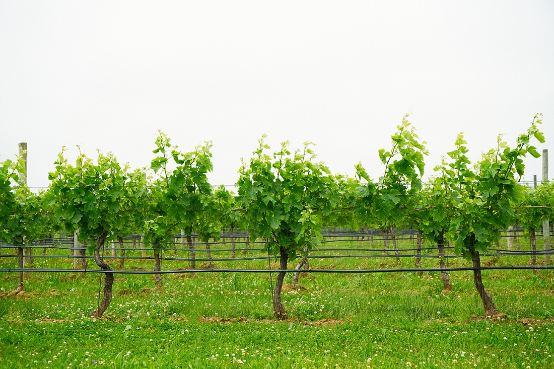 Winery grape vines