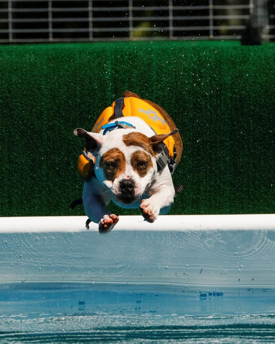Dog diving off dock into pool