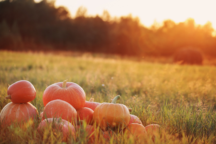 Pumpkins in a field during sunset