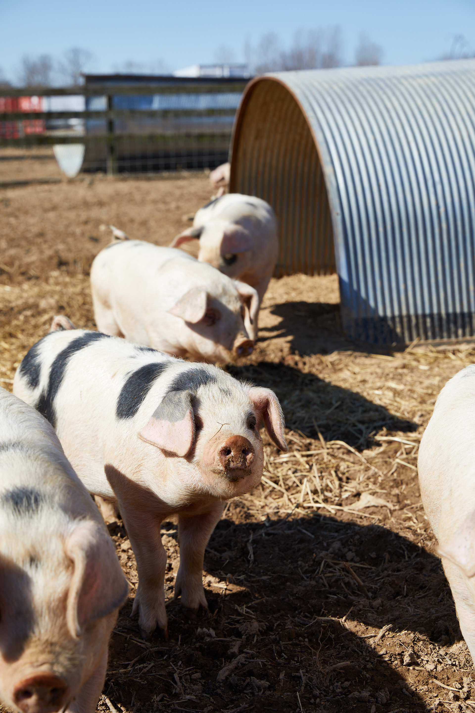 Deep Roots Farm Pigs